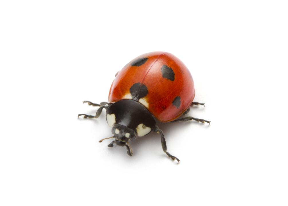 Ladybirds riddled with STDs are invading Britain's homes